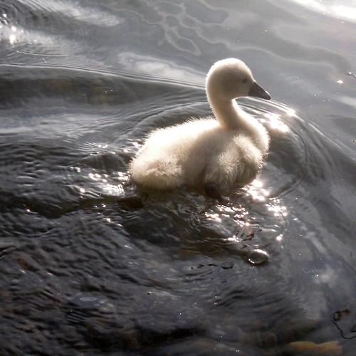 Swan family VII