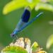 Male Banded Demoiselle by c22w1