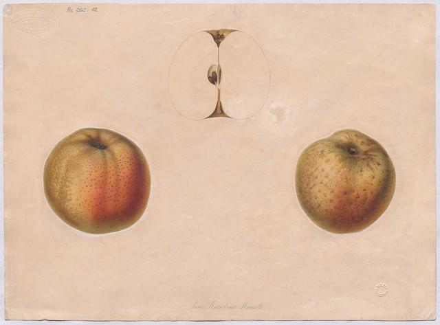 Apfelsorte Pariser Rambour Reinette (Reinette de Paris)