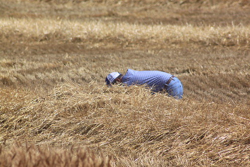 Dad checking if the combine is throwing over.