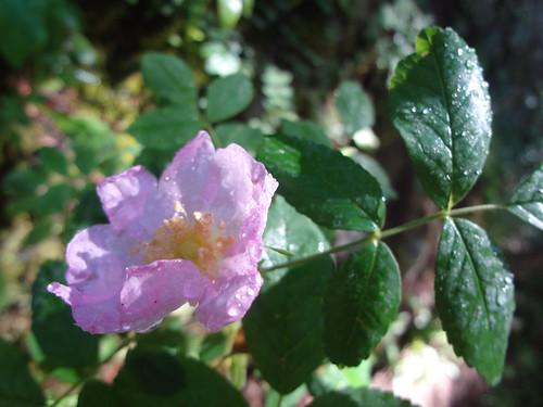 Wild rose pink