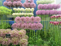 OCD alliums