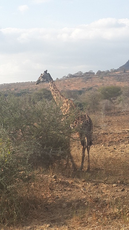 Giraffe on roadside