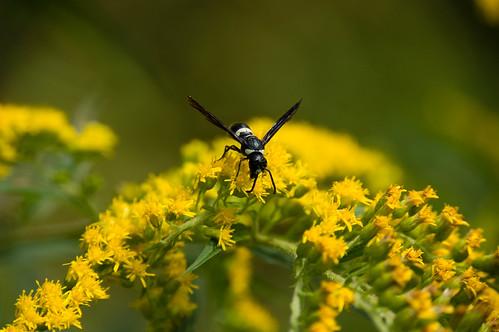 09666 Sand Wasp