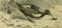 """Image from page 559 of """"Reptiles and birds : a popular account of their various orders, with a description of the habits and economy of the most interesting"""" (1883)"""