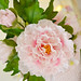 Peony by Hilary Rose Cupcakes