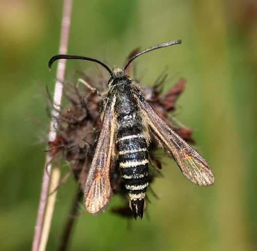 Six-belted Clearwing Bembecia ichneumoniformis Tophill Low NR, East Yorkshire July 2014