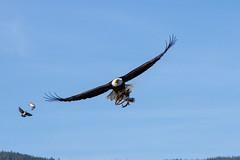 hawk(0.0), falcon(0.0), animal(1.0), bird of prey(1.0), eagle(1.0), wing(1.0), vulture(1.0), buzzard(1.0), bald eagle(1.0), accipitriformes(1.0), bird(1.0), flight(1.0), condor(1.0),