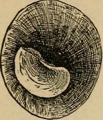 "Image from page 84 of ""West coast shells. A familiar description of the marine, fresh water, and land mollusks of United States, found west of the Rocky Mountains .."" (1888)"