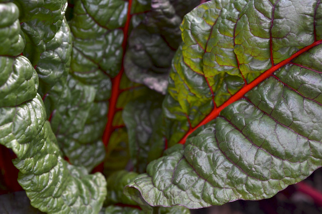 Beta vulgaris (swiss chard) in the Herb Garden. Photo by Morrigan McCarthy.