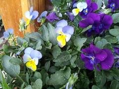 GS2 I9100 #flowers #garden  #nature #pink #violet #yellow #orange #daisy #macro #samsung #smartphone