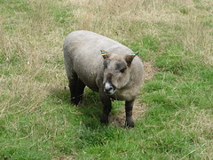 animal, grazing, fauna, pig-like mammal, pasture, wildlife,