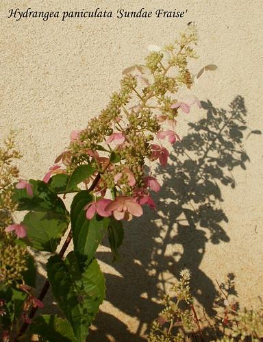 Hydrangea paniculata 'Sundae Fraise'