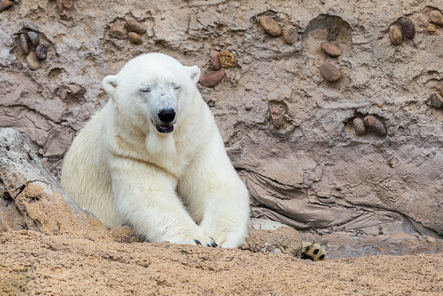 Polar bear resting at Denver Zoo