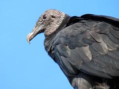 black vulture above