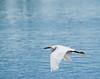 Great egret cruising 2