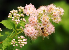 Honeybee on Meadowsweet