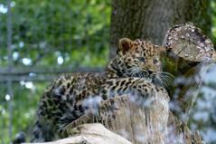 snow leopard(0.0), wildlife(0.0), animal(1.0), big cats(1.0), leopard(1.0), zoo(1.0), nature(1.0), mammal(1.0), jaguar(1.0), fauna(1.0),