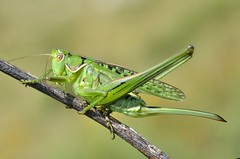 Gampsocleis glabra female - Photo of Loubaresse