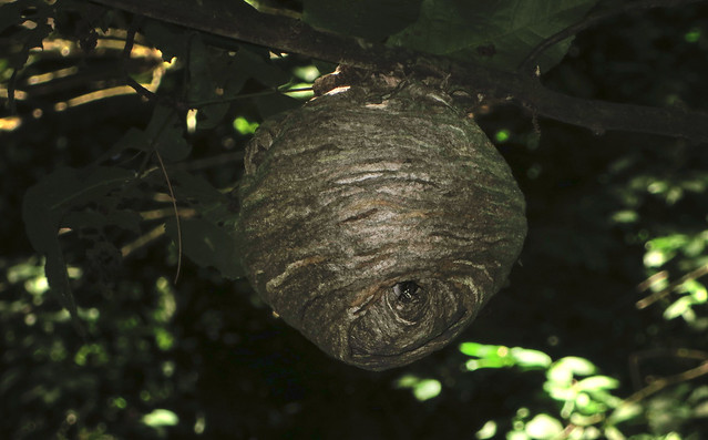 wasp nest at Ipswich Wildlife Sanctuary with Greg (2014)