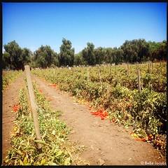 Thank you #UnderwoodFamilyFarms for this great #tTomatoeHarvest #tomatoes #farm #losangeles #losangeleskids