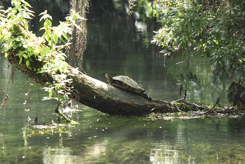 Suwannee Cooter at Wakulla Springs