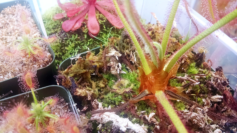 Hitchhiker in the Drosera spiralis pot.