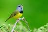 Mourning Warbler-Geothlypus philadelphia