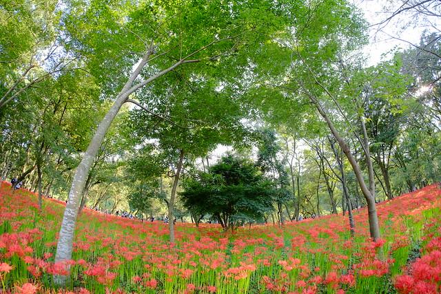 彼岸花(曼珠沙華) cluster‐amaryllis