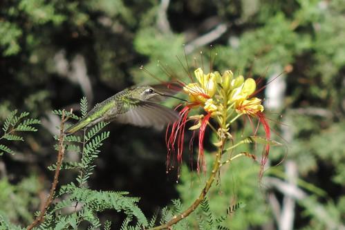 #87 Black Chinned Hummingbird (Archilochus alexandri)