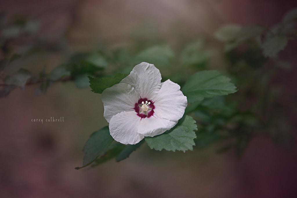 rose of sharone