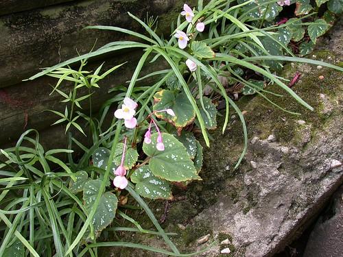 Ferns and begonias
