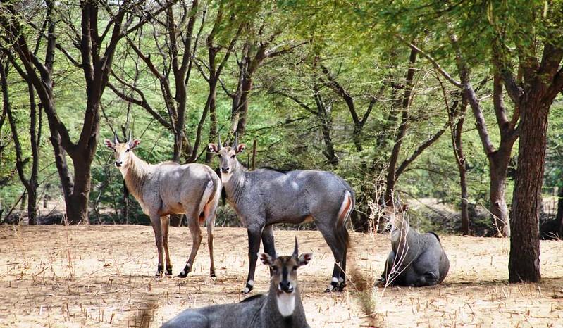 248 Camel safari a Jaisalmer