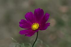 紫色① Purple