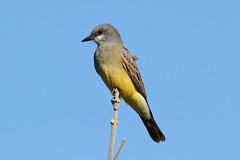 Cassin's Kingbird (Tyrranus vociferans)