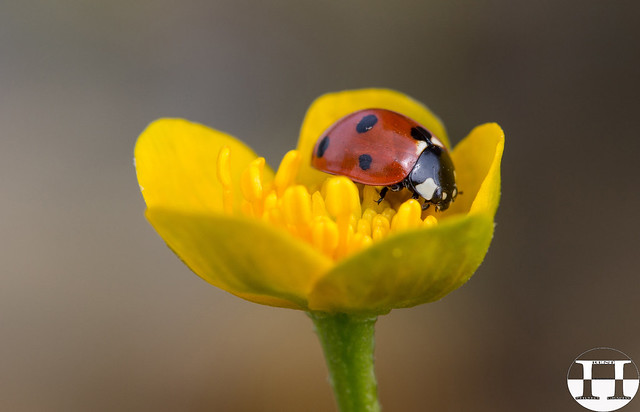 Ladybug On Kingcup
