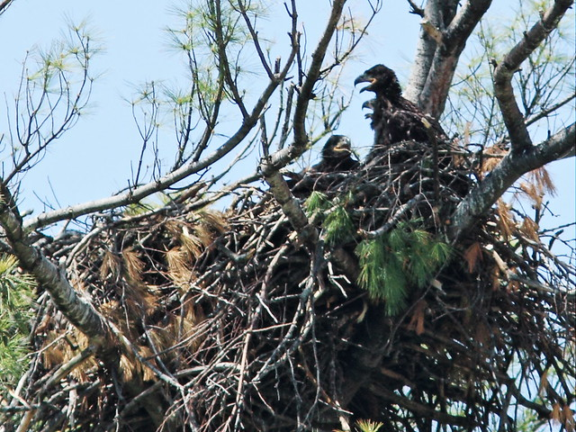 Mooseheart three eaglets 20140521