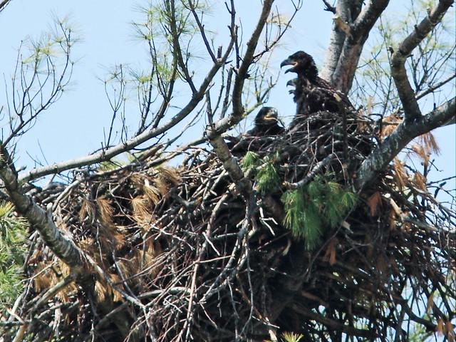 Mooseheart three eaglets 20140521