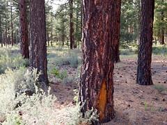 tree-trunks