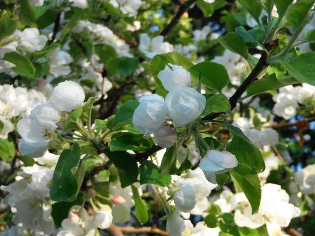 apple blossoms in the rain