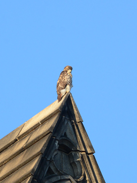 Cathedral Hawk Fledgling - 3232