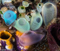 tunicate assortment - looking like candy