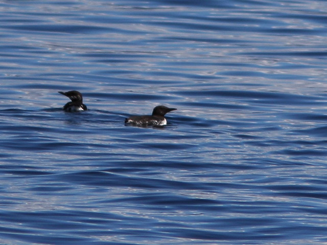 Common Murres 20140616