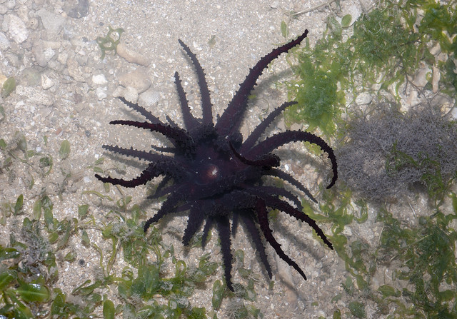 Haeckel's anemone (Actinostephanus haeckeli)