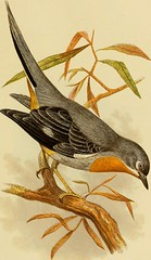 """Image from page 46 of """"Cassell's book of birds"""" (1875)"""