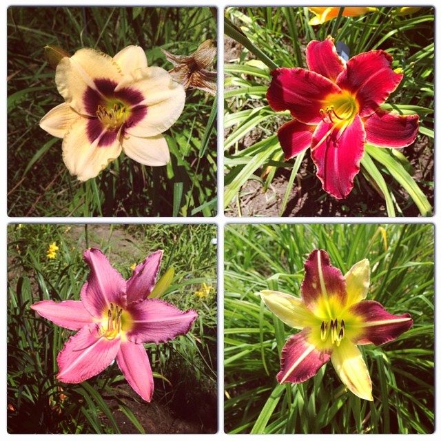 Some daylilies at Olallies.