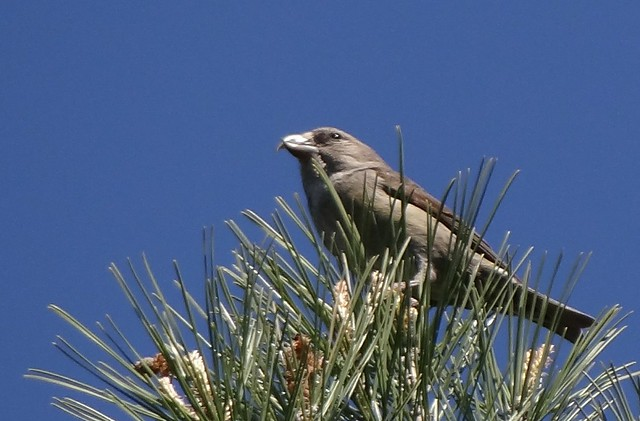 Common Crosbill