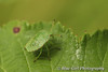 Common Green Shieldbug (5th Instar)