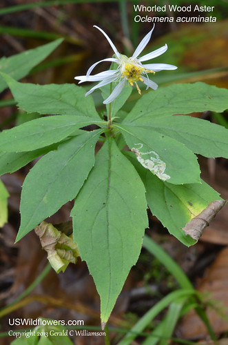 Whorled Wood Aster, Whorled Aster, Mountain Aster, Sharp-leaved Aster - Oclemena acuminata