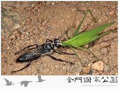 黑細腰蜂-02